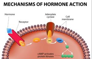 Mechanisms of Hormones Action